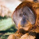 Male Orangutan by Randall Ingalls