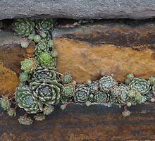 Plants Growing in a Stone Wall by Paula Betz
