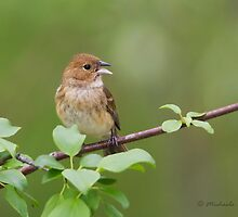 Indigo Bunting female by PixlPixi