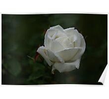 Evening Rose Poster