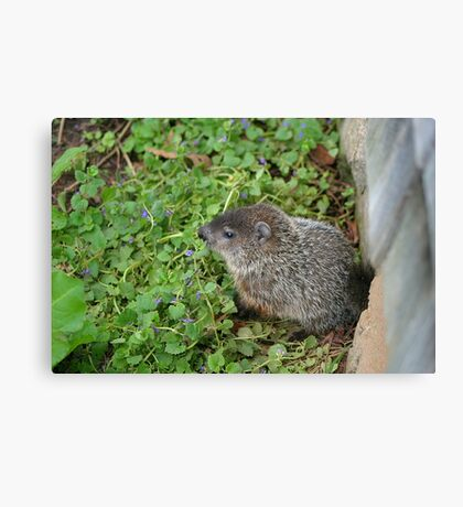 Baby Groundhog Canvas Print