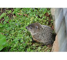 Baby Groundhog Photographic Print