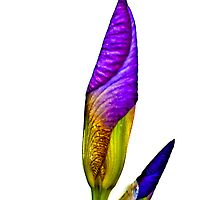 Iris, 2011 by Bryan D. Spellman