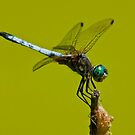 Blue Dasher Dragonfly by Michael Cummings