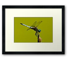 Blue Dasher Dragonfly Framed Print