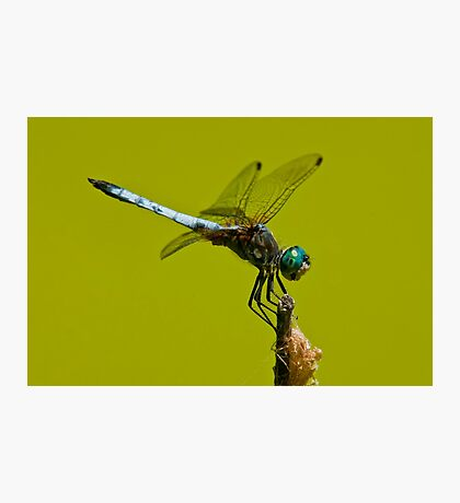 Blue Dasher Dragonfly Photographic Print