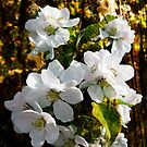 Apple Blossom in wood by L J Fraser