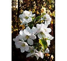 Apple Blossom in wood Photographic Print