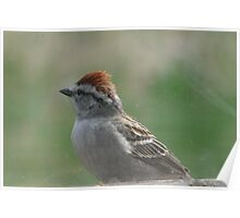 Red Topped Brown Bird...Chirping Sparrow Poster