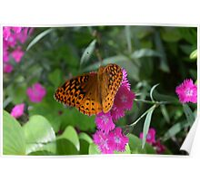 Orange Fritillary Butterfly on Dianthus  Poster