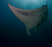 Diving Manta by Todd Krebs