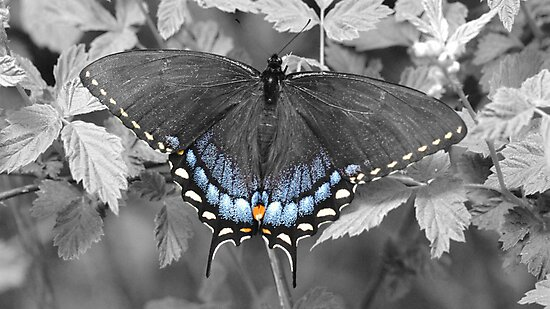 Female Swallowtail in selective color. by William Brennan