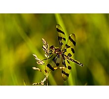 Brown Spotted Yellow-wing Dragonfly Photographic Print
