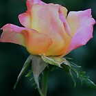 Love & Peace Hybrid Tea Rose by Robert Armendariz