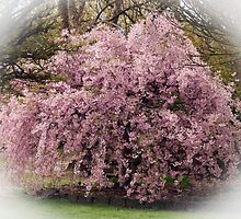Weeping Cherry Tree - Drouin Gippsland by Bev Pascoe