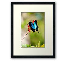 Gotchya - Ulysses Butterfly Framed Print