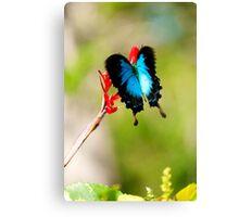Gotchya - Ulysses Butterfly Canvas Print