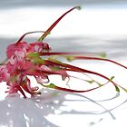 Grevillia Flower by Leonie Mac Lean