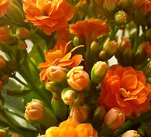 orange calandiva by katiebm