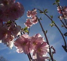 cherry blossom by katiebm