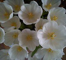 white tulips by katiebm