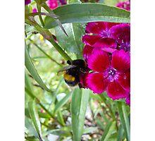 bee on sweet williams Photographic Print
