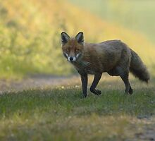 Red Fox by Nigel Tinlin