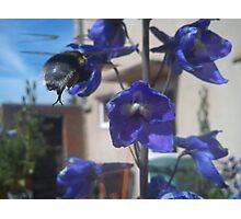 bee feeding from delphinium Photographic Print