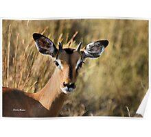 """Pen-kop"" - impala ram (Aepyceros melampus) - Kruger park South Africa Poster"