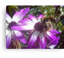 bee on white daisy like flower Canvas Print