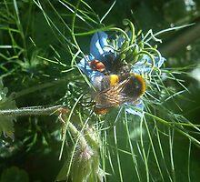 pollon carrying bee on nigella by katiebm