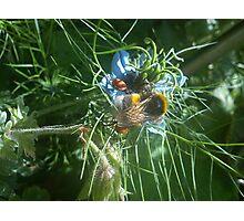 pollon carrying bee on nigella Photographic Print