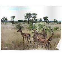 """Awesome Ewes"" - impala females - Kruger nat Park South Africa Poster"