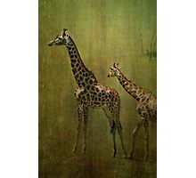 Giraffes Photographic Print