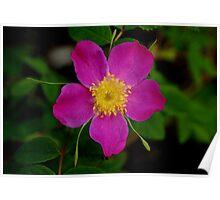 WILD ROSEHIP PINK ROSE Poster