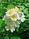 Dog Roses - Rosa multiflora by MotherNature