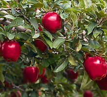 apples on tree  by atlasphoto