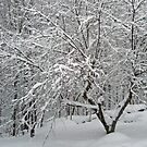 Dogwood in Snow by MotherNature
