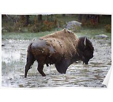 buffalo in water  Poster