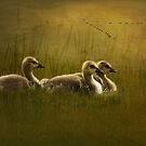 Goslings by swaby