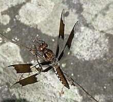 Common Whitetail Dragonfly - Plathemis lydia by MotherNature