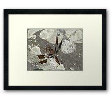Common Whitetail Dragonfly - Plathemis lydia Framed Print