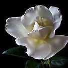 White Rose by Endre