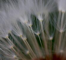 dandelion's secret 2 by yvesrossetti