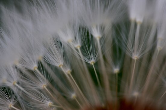 dandelion's secret 2 by yvesrossetti