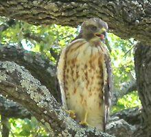 Hawk Complaining by Navigator