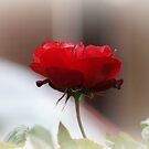 Rose Red. by JacquiK