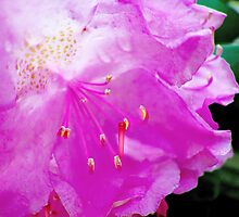 Pink Rhododendron  by Marcia Rubin