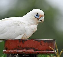 Short Billed Corella In Our Yard. Brisbane, Queensland, Australia  by Ralph de Zilva