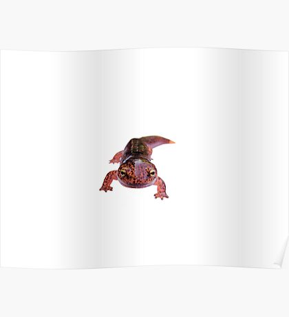 Northern Red Salamander  Poster
